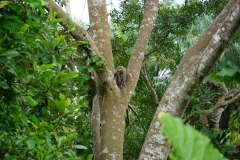monkey in a rainforest riparian buffer