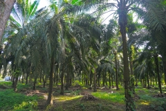 Wilmar Oil Palm Plantation